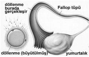 2-haftalik-gebelik-hamilelik-goruntusu-2